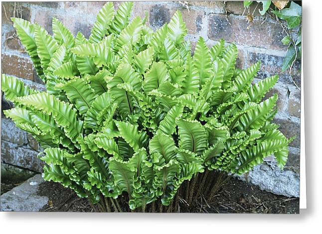 Hart Greeting Cards - Asplenium Scolopendrium crispum Nobile Greeting Card by Archie Young