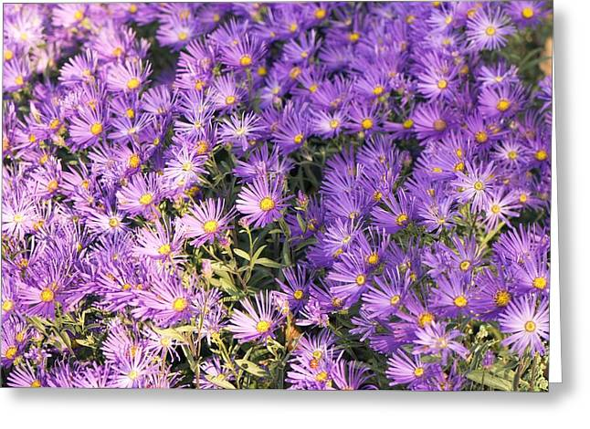 Asters Greeting Cards - Aster Amellus veilchenkonigin Greeting Card by Adrian Thomas