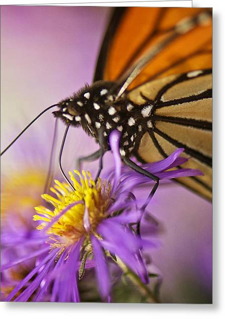 Asters Greeting Cards - Aster and the Butterfly Greeting Card by Vicki Jauron