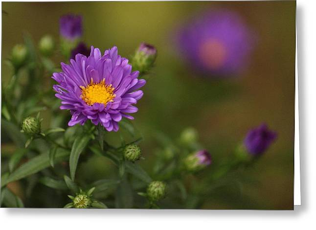 Aster Greeting Cards - Aster Greeting Card by Angie Vogel