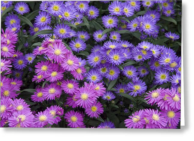 Asters Greeting Cards - Aster Aster Sp Flowers Greeting Card by VisionsPictures
