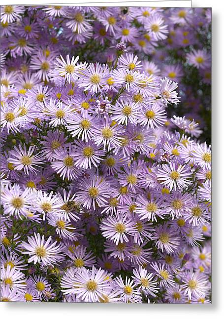 Asters Greeting Cards - Aster Aster Universum Pink Star Variety Greeting Card by VisionsPictures