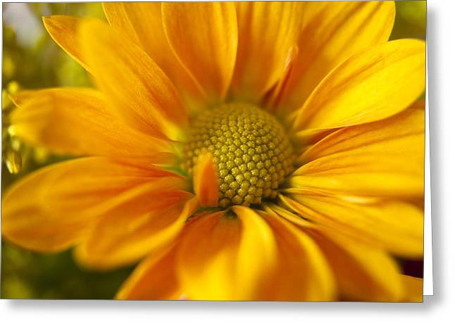 Aster Greeting Cards - Aster Close up Greeting Card by Andrew Soundarajan