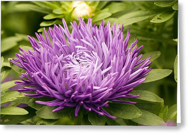 Asters Greeting Cards - Aster compliment Dark Blue Greeting Card by Adrian Thomas