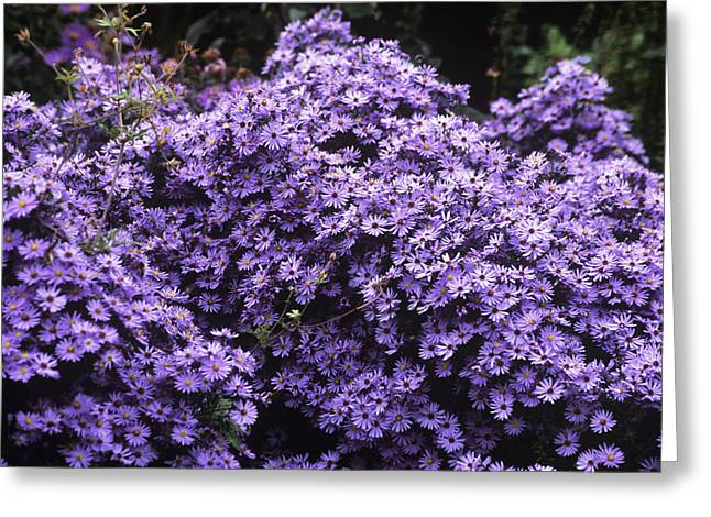 Asters Greeting Cards - Aster Flowers (aster little Carlow) Greeting Card by Adrian Thomas