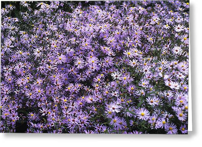 Asters Greeting Cards - Aster Flowers (aster Turbinellus) Greeting Card by Adrian Thomas