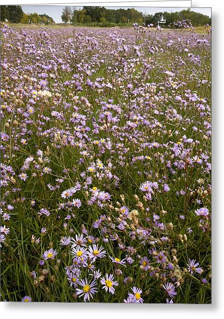 Asters Greeting Cards - Aster Tripolium Ssp Pannonicum Greeting Card by Bob Gibbons