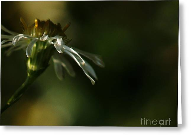 Aster Greeting Cards - Asters Peripheral Ray Greeting Card by Linda Knorr Shafer