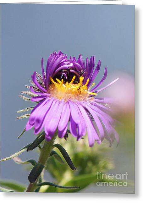 Reflections Of Infinity Greeting Cards - Asters Starting to Bloom Greeting Card by Robert E Alter Reflections of Infinity