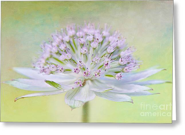 Astrantia Art Greeting Card by Jacky Parker