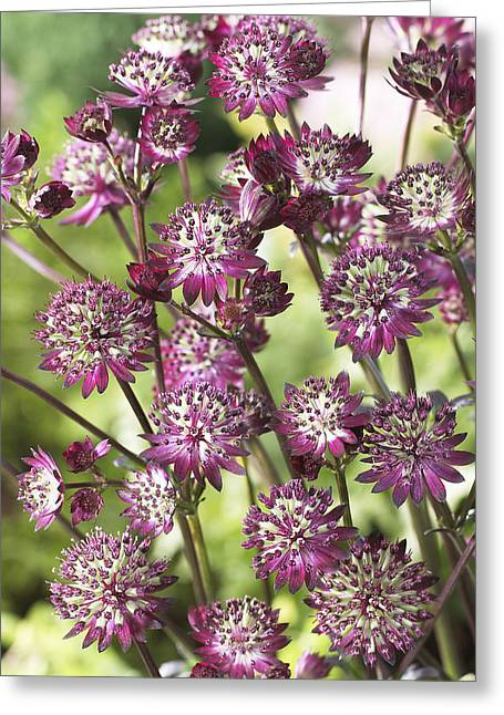 Astrantia Astrantia Sp Dark Shiny Eyes Greeting Card by VisionsPictures