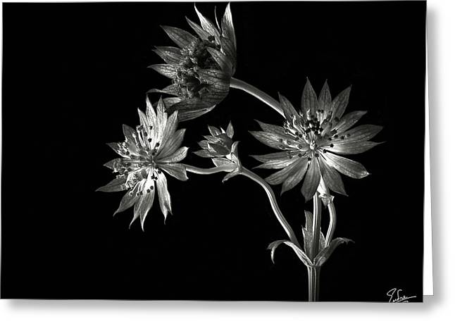 Flower Photos Greeting Cards - Astrantia in Black and White Greeting Card by Endre Balogh