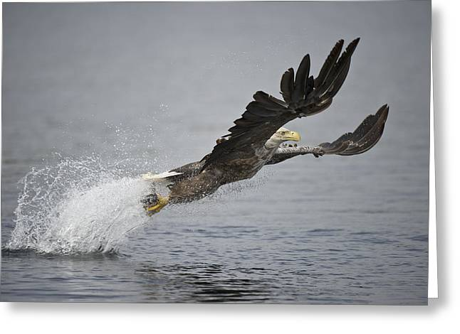 Flying Eagles Greeting Cards - At Full Stretch Greeting Card by Andy Astbury