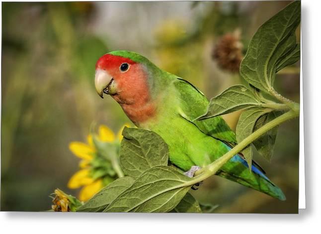 Peach Faced Lovebird Bird Greeting Cards - At the End of the Rainbow  Greeting Card by Saija  Lehtonen
