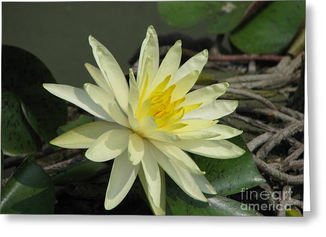 Water Lilly Greeting Cards - At The Pond Greeting Card by Amanda Barcon