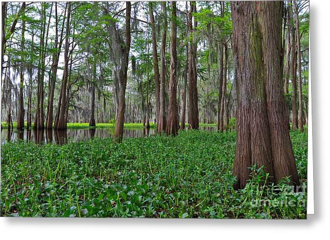 Invasive Species Greeting Cards - Atchafalaya Swamp Greeting Card by Louise Heusinkveld