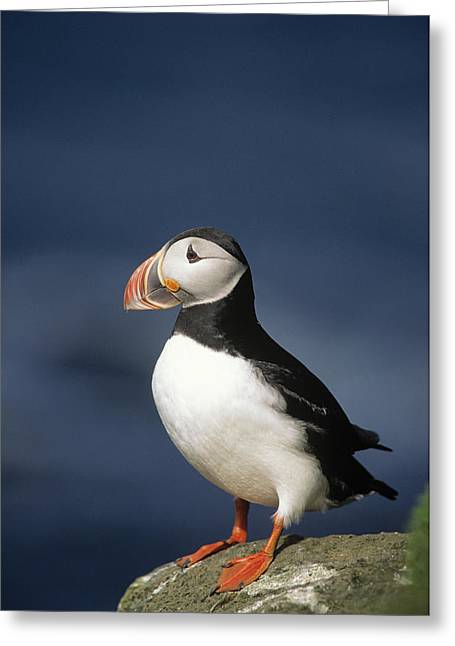 Atlantic Puffin Greeting Cards - Atlantic Puffin Fratercula Arctica Greeting Card by Eric Wanders