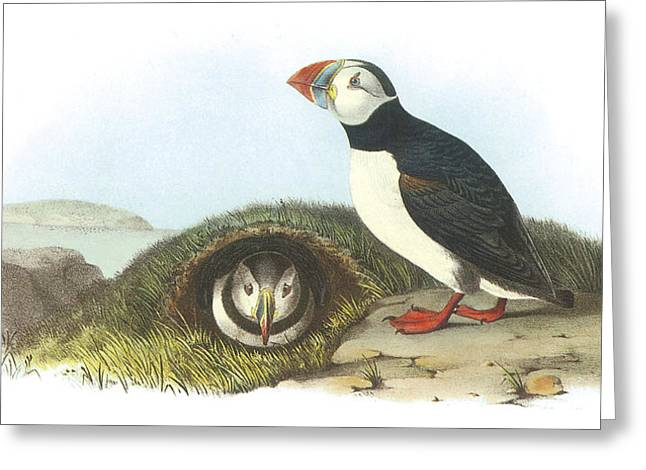 Best Sellers -  - Seabirds Greeting Cards - Atlantic Puffin Greeting Card by John James Audubon