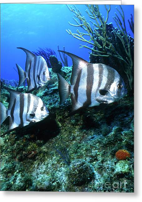 Spadefish Greeting Cards - Atlantic Spadefish, Bahamas Greeting Card by Beverly Factor