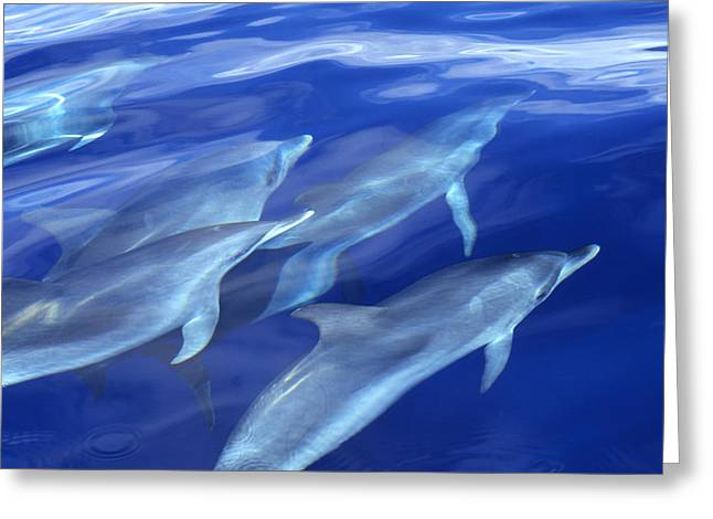 Delphinidae Greeting Cards - Atlantic Spotted Dolphin Stenella Greeting Card by Wil Meinderts