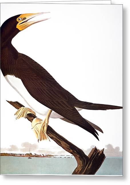 Brown Booby Greeting Cards - Audubon: Booby Greeting Card by Granger
