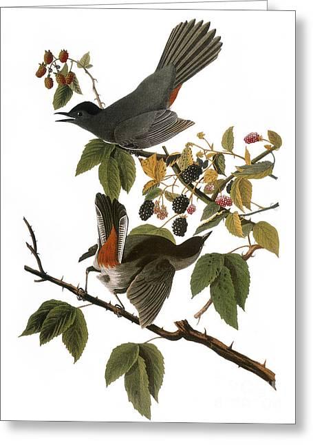 Birds. Thorns Greeting Cards - Audubon: Catbird, (1827-38) Greeting Card by Granger
