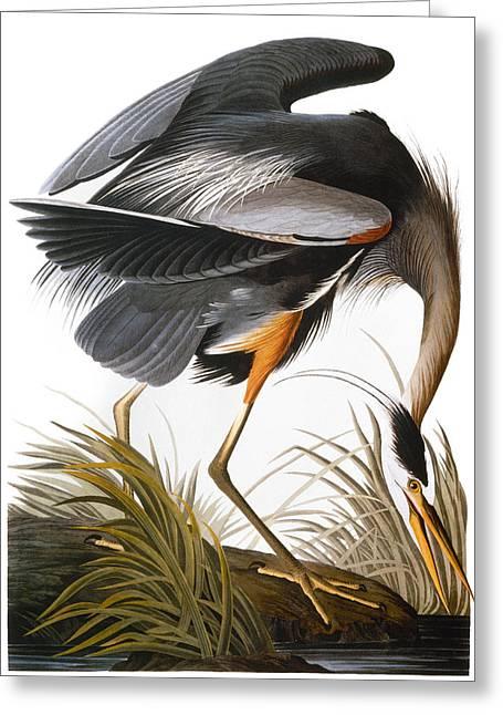 Herodias Greeting Cards - Audubon: Heron Greeting Card by Granger