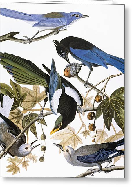 Yellow Billed Magpie Greeting Cards - Audubon: Jay And Magpie Greeting Card by Granger