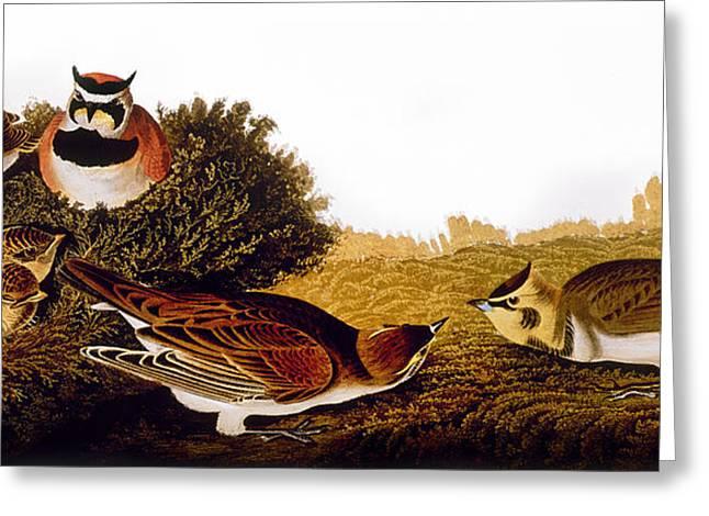 Horned Larks Greeting Cards - Audubon: Lark Greeting Card by Granger