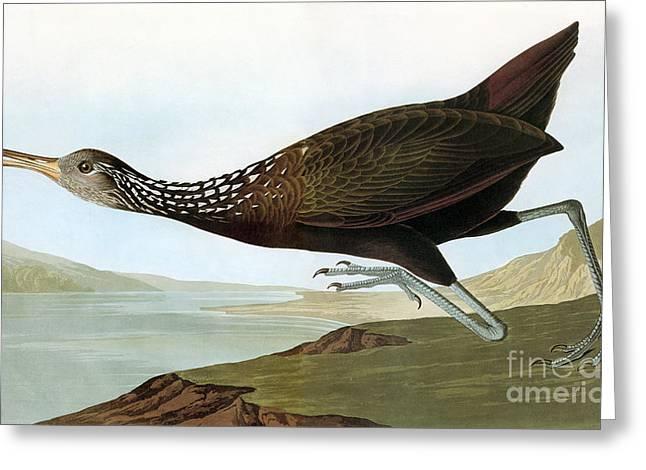 Aramus Guarauna Greeting Cards - Audubon: Limpkin Greeting Card by Granger