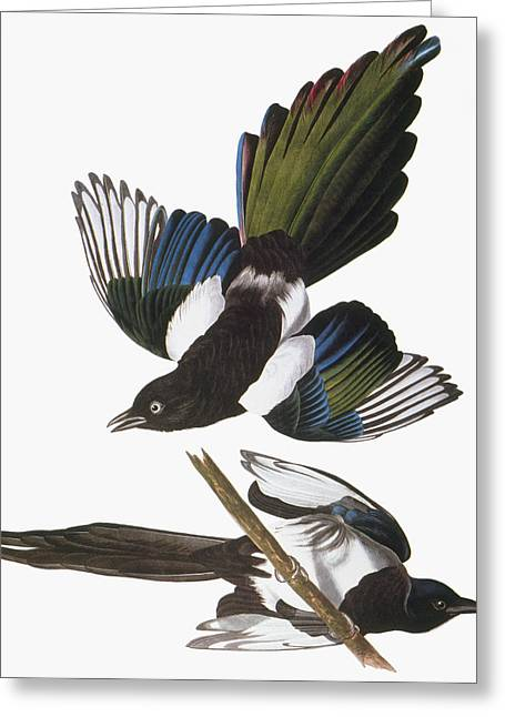 Black-billed Magpie Greeting Cards - Audubon: Magpie Greeting Card by Granger