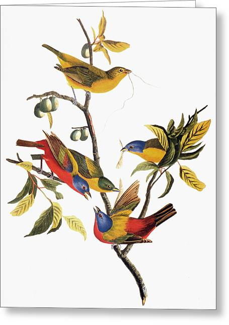 Sparrow Greeting Cards - Audubon: Sparrows Greeting Card by Granger