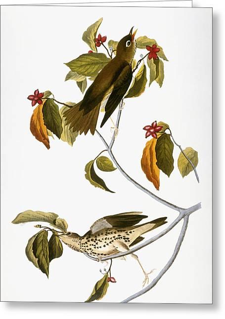 Thrush Greeting Cards - Audubon: Thrush Greeting Card by Granger