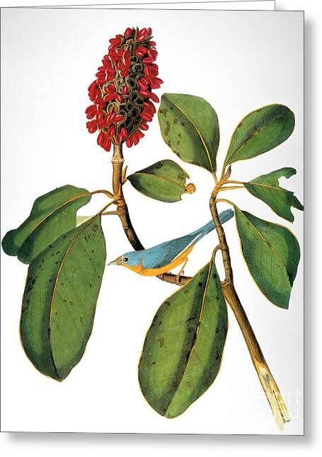 Warblers Greeting Cards - Audubon: Warbler Greeting Card by Granger