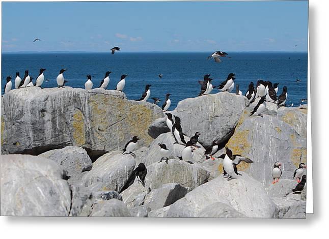 Auk Island Greeting Card by Bruce J Robinson