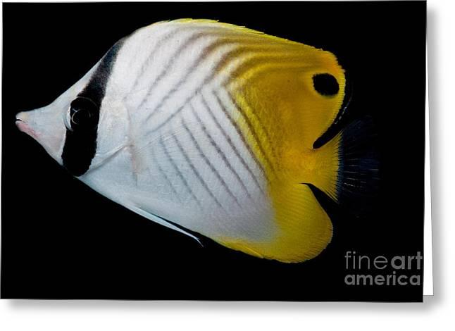 Auriga Butterfly Fish Greeting Card by Dant� Fenolio