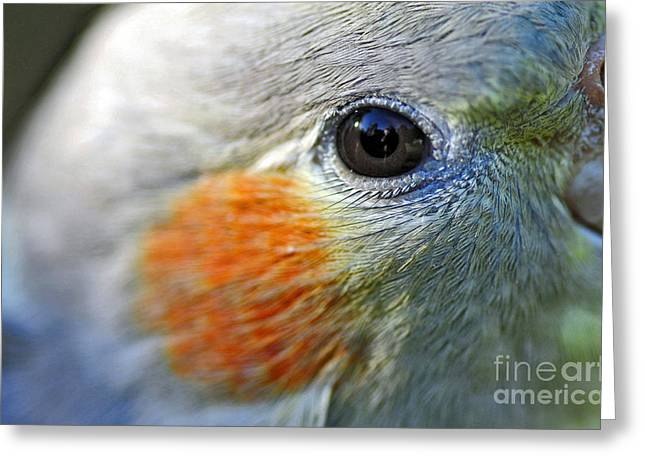 Australian Native Bird Greeting Cards - Australian Birds - Eye of the Cockateil Greeting Card by Kaye Menner