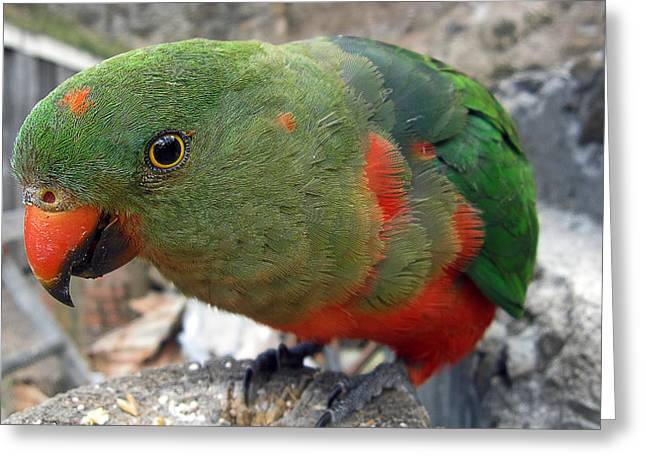 Walhalla Greeting Cards - Australian King Parrot Greeting Card by Craig Jenner