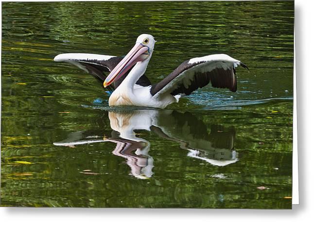 Perth Zoo Greeting Cards - Australian Pelican Greeting Card by Chris ODonoghue