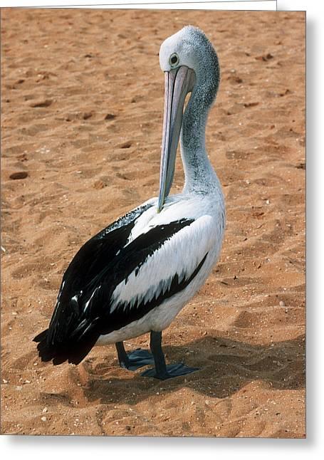 Shark Bay Greeting Cards - Australian Pelican Greeting Card by Georgette Douwma