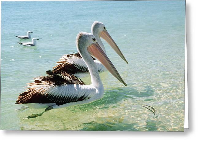 Shark Bay Greeting Cards - Australian Pelicans Greeting Card by Georgette Douwma