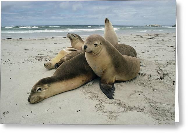 Sea Lions Greeting Cards - Australian Sea Lion Neophoca Cinerea Greeting Card by Gerry Ellis