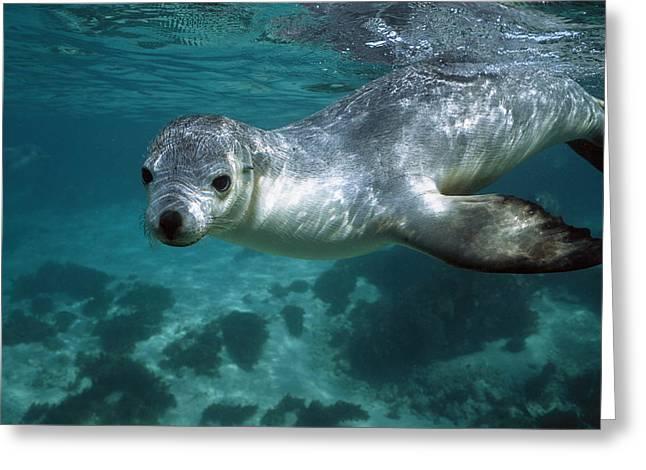 Sea Lions Greeting Cards - Australian Sea Lion Neophoca Cinerea Greeting Card by Hiroya Minakuchi