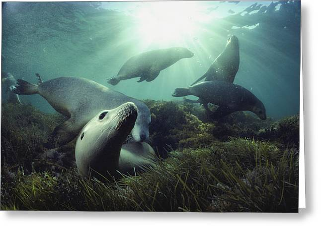 Hopkins Island Greeting Cards - Australian Sea Lions Swim In The Waters Greeting Card by David Doubilet