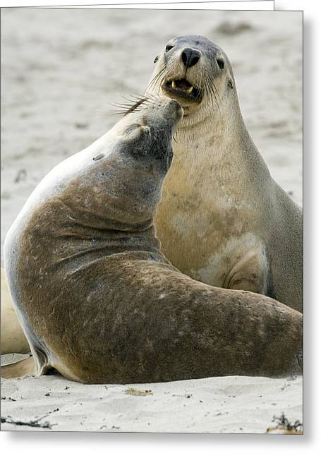 Australian Sea Lions Greeting Card by Tony Camacho