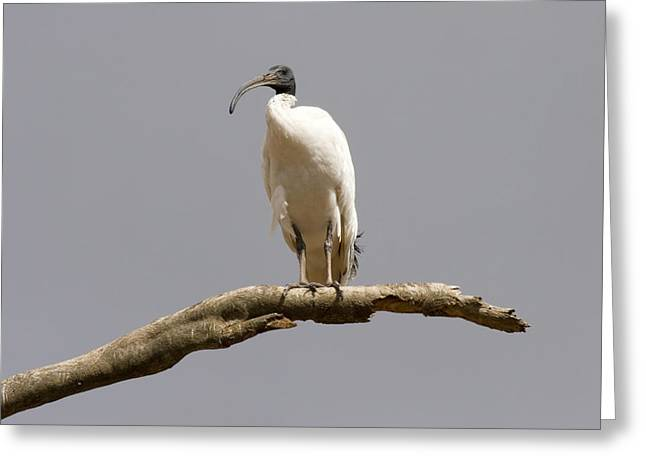 Wading Bird Greeting Cards - Australian White Ibis Perched Greeting Card by Mike  Dawson