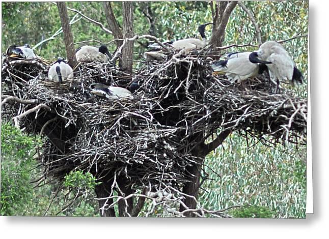Joanne Kocwin Greeting Cards - Australian White Ibis with nests Greeting Card by Joanne Kocwin