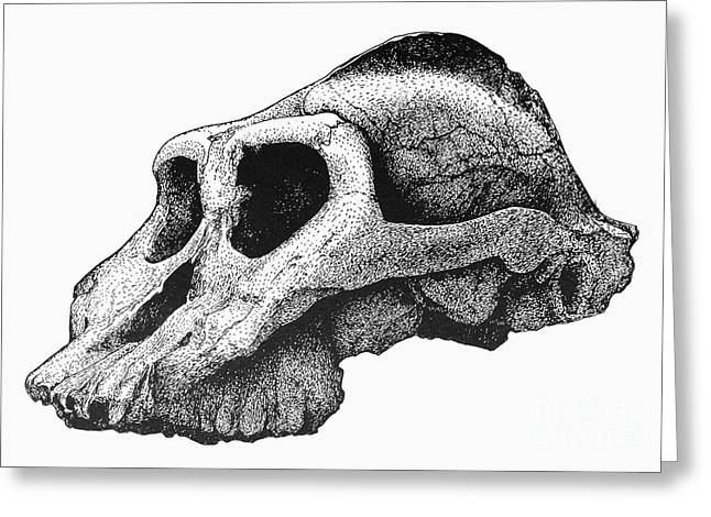 African Ancestry Greeting Cards - Australopithecus Boisei Greeting Card by Granger