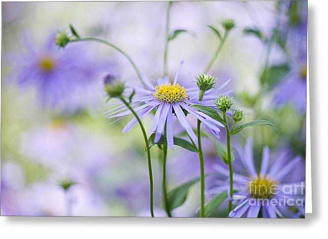 Aster Greeting Cards - Autumn Asters Greeting Card by Jacky Parker
