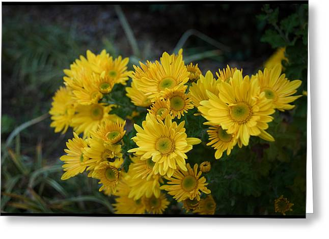 Close-up Greeting Cards - Autumn Blooms chrysanthemums Greeting Card by Kelly Rader